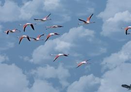 Flamingos (Phoenicopterus roseus)