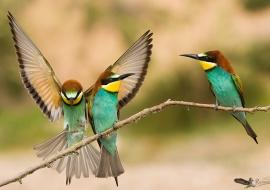 Abejaruco-Merops apiaster-posados