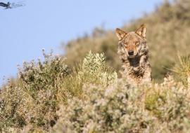 Iberian Wolf (Canis lupus)