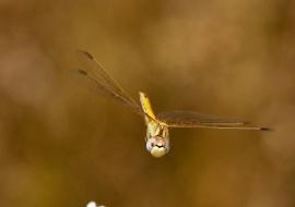 Libelula en vuelo