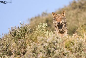 Lobo Ibérico (Canis lupus)