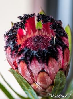 Protea Burchelli, Maui