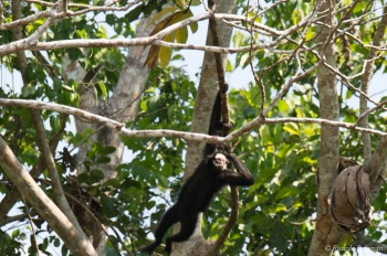 _DSC3890 Mono araña cara blanca,Brasil