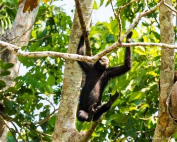 _DSC3892 Mono araña cara blanca,Brasil