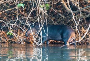 _DSC4191 Tapir,Brasil