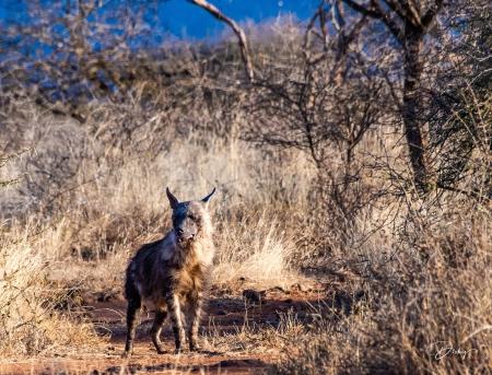 DSC_3413-2 Africa V, Perro Salvaje, Sur Africa.jpg