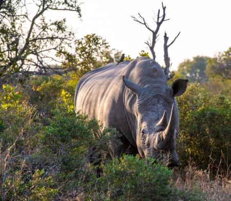 DSC_6473 Africa V, Rinoceronte, Sur Africa.jpg