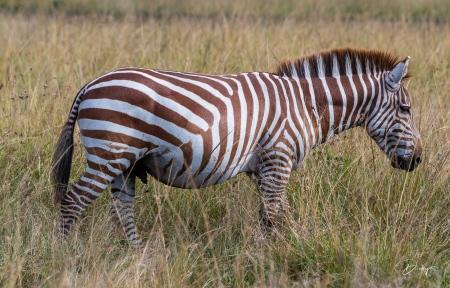 DSC_0063 Africa, Africa V, Kenya, Masai Mara, Zebra Café.jp