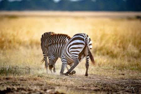DSC_0532 Africa V, Kenya, Masai Mara, Zebras peleando.jpg