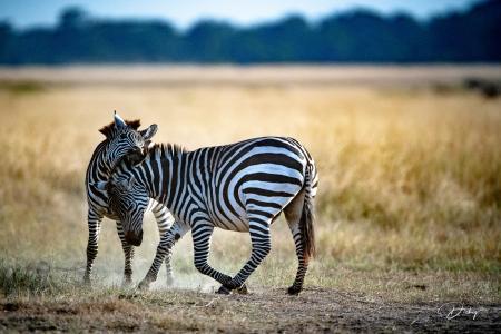 DSC_0534 Africa V, Kenya, Masai Mara, Zebras peleando.jpg