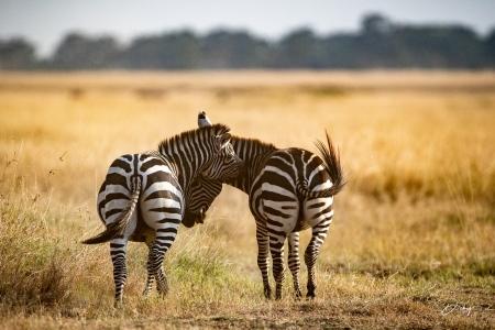 DSC_0539 Africa V, Kenya, Masai Mara, Zebras peleando.jpg