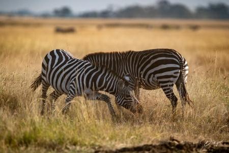 DSC_0558 Africa V, Kenya, Masai Mara, Zebras peleando.jpg