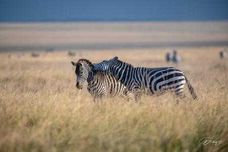 DSC_0583 Africa V, Kenya, Masai Mara, Zebras peleando.jpg