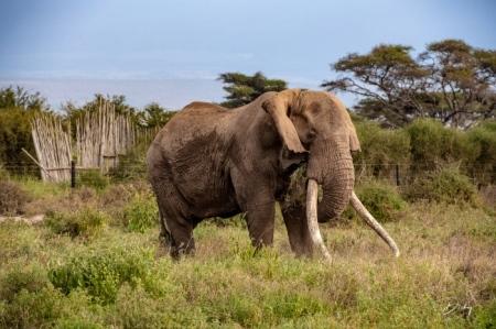 _DSC2550 Africa, Africa V, Ambosseli, Elefante, Kenya.jpg
