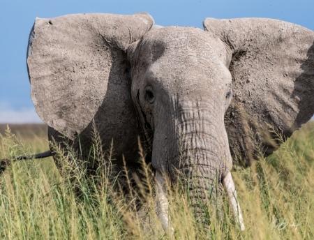 _DSC8491 Africa, Africa V, Ambosseli, Elefante, Kenya.jpg