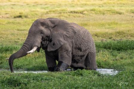_DSC8653 Africa, Africa V, Ambosseli, Elefante, Kenya.jpg