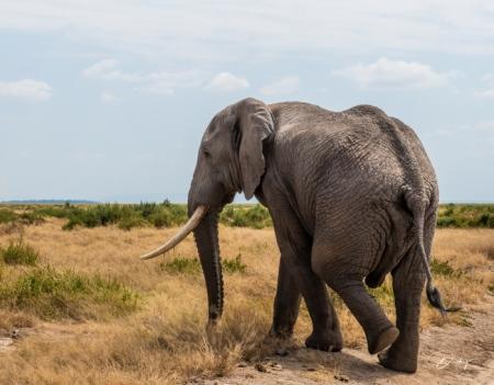 DSC_0260-2-2 Africa, Africa V, Ambosseli, Elefante, Kenya.jp