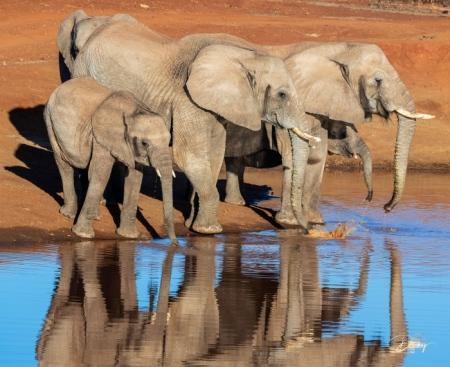 DSC_3463 Africa V, Elefante, Sur Africa.jpg