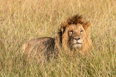 DSC_0476 Africa, Africa V, Kenya, leon, Masai Mara.jpg