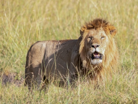 DSC_0510 Africa, Africa V, Kenya, leon, Masai Mara.jpg