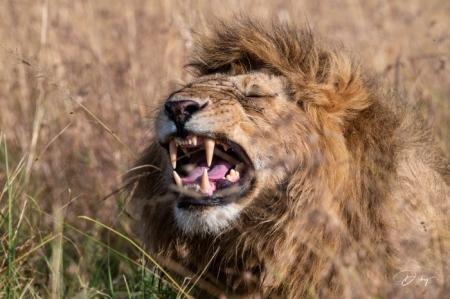 DSC_0728-2 Africa, Africa V, Kenya, leon, Masai Mara.jpg
