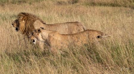 DSC_1107 Africa, Africa V, Kenya, leon, Masai Mara.jpg