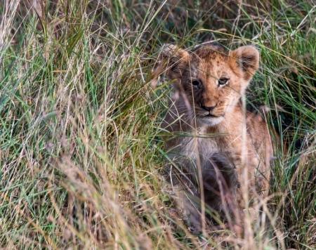 DSC_1175 Africa, Africa V, cachorro, Kenya, leon, Masai Mara