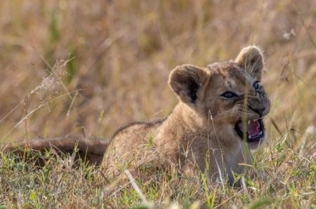 DSC_2792 Africa, Africa V, cachorro, Kenya, leon, Masai Mara