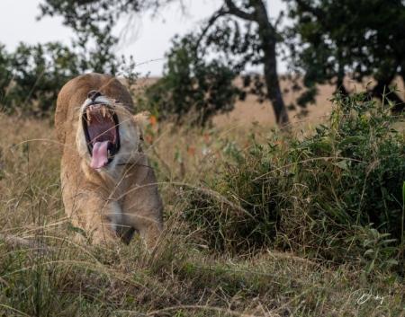 DSC_2930-2 Africa, Africa V, Kenya, leon, Masai Mara.jpg