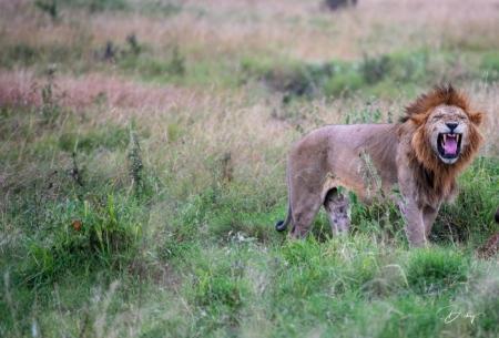 DSC_2937 Africa, Africa V, Kenya, leon, Masai Mara.jpg