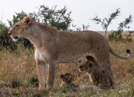 DSC_2947-2 Africa, Africa V, cachorro, Kenya, leon, Masai Ma