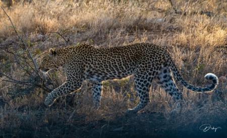 DSC_5217-2 Africa V, Leopardo, Sur Africa.jpg