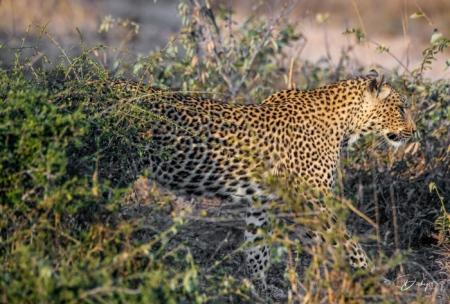 DSC_5240-2 Africa V, Leopardo, Sur Africa.jpg