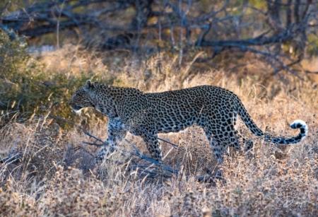 DSC_5203-2 Africa V, Leopardo, Sur Africa.jpg