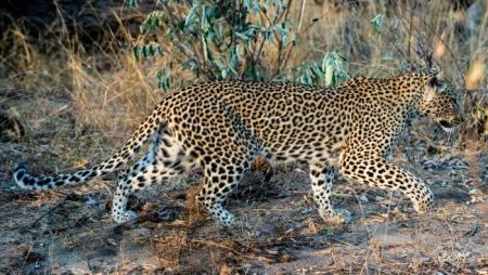 DSC_6275 Africa V, Leopardo, Sur Africa.jpg