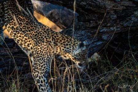 DSC_5191-2 Africa V, Leopardo, Sur Africa.jpg