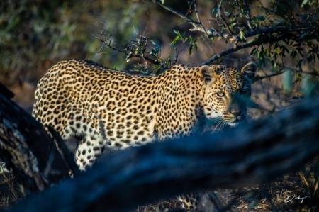 DSC_5181-2 Africa V, Leopardo, Sur Africa.jpg