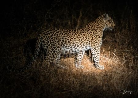 DSC_6046 Africa V, Leopardo, Sur Africa.jpg