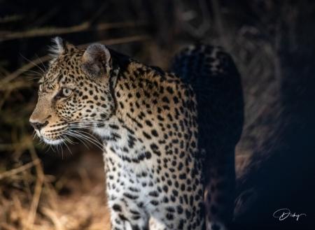 DSC_5963 Africa V, Leopardo, Sur Africa.jpg