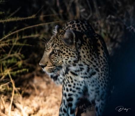DSC_5957 Africa V, Leopardo, Sur Africa.jpg