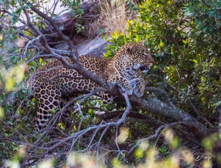DSC_1986 Africa, Africa V, Kenya, Leopardo, Masai Mara.jpg