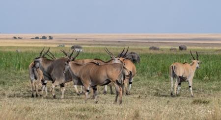 DSC_0109 Africa, Africa V, Antilope, Elai, Kenya, Masai Mara