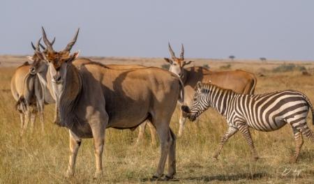 DSC_2441 Africa, Africa V, Antilope, Elai, Kenya, Masai Mara
