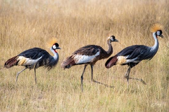 _DSC8568 Ambosseli, Grulla Coronada, Kenya.jpg