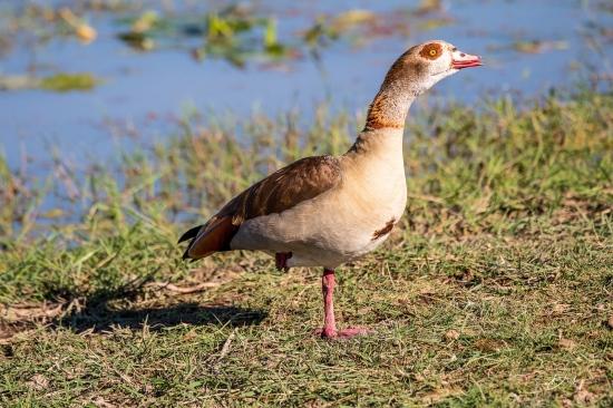 _DSC9086 Ambosseli, Kenya, Pato africano.jpg