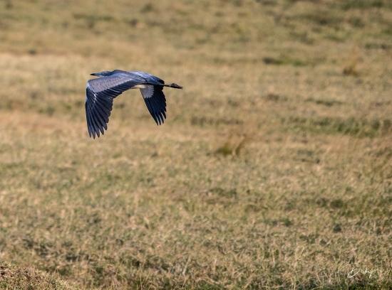 DSC_2512 Heron Africano, Kenya, Masai Mara.jpg