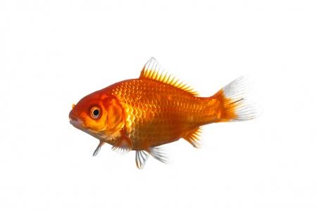 <i>Carassius dauratus. </i>Peix vermell.