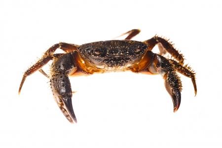 <i>Eriphia verrucosa.</i> Warty crabe.