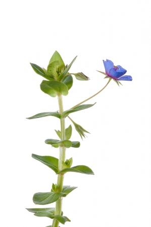 <i>Angagallis arvensis. </i>Herba sabonera.
