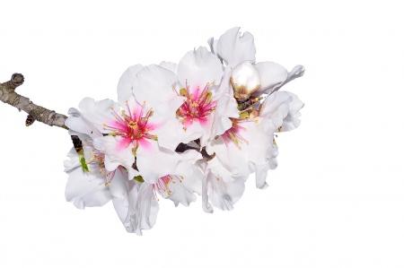 "<a target=""_blank"" href=http://herbarivirtual.uib.es/cas-med/especie/4720.html><i>Prunus dulcis. </i>Almendro. </a>"